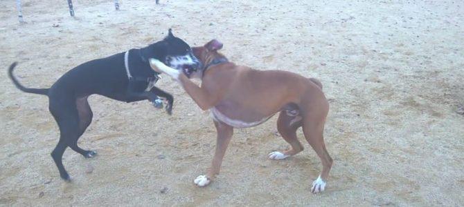 Boxer? Let's Go!